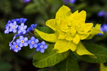 Blue and yellow flowers Euphorbia Forget-me-not